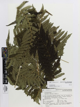 Cyathea smithii, AK166537, © Auckland Museum CC BY