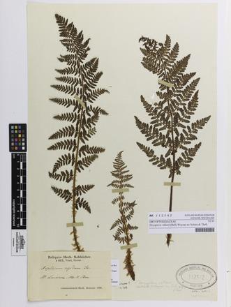 Dryopteris villarii, AK112542, © Auckland Museum CC BY
