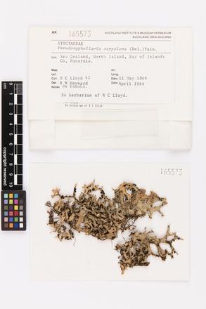 Pseudocyphellaria carpoloma, AK165573, © Auckland Museum CC BY