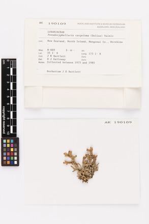 Pseudocyphellaria carpoloma, AK190109, © Auckland Museum CC BY
