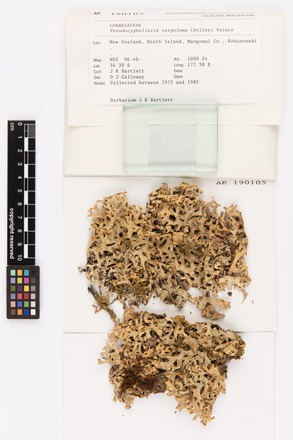 Pseudocyphellaria carpoloma, AK190105, © Auckland Museum CC BY