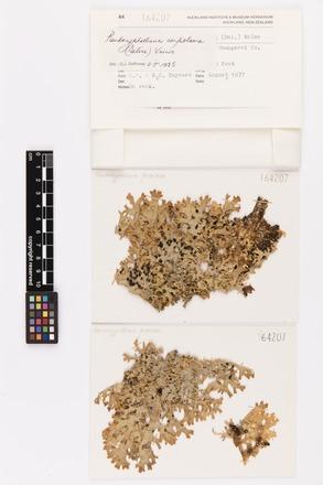 Pseudocyphellaria carpoloma, AK164207, © Auckland Museum CC BY