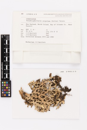 Pseudocyphellaria carpoloma, AK190115, © Auckland Museum CC BY