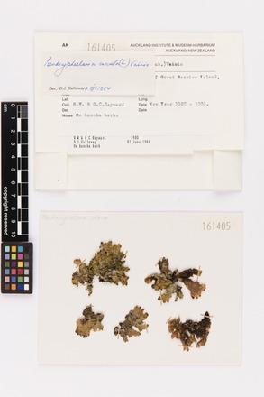 Pseudocyphellaria crocata, AK161405, © Auckland Museum CC BY