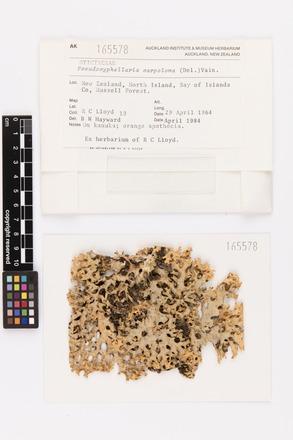 Pseudocyphellaria carpoloma, AK165578, © Auckland Museum CC BY