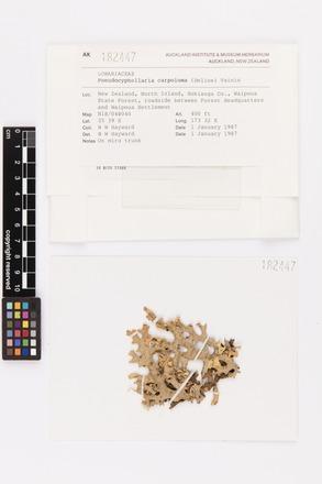 Pseudocyphellaria carpoloma, AK182447, © Auckland Museum CC BY