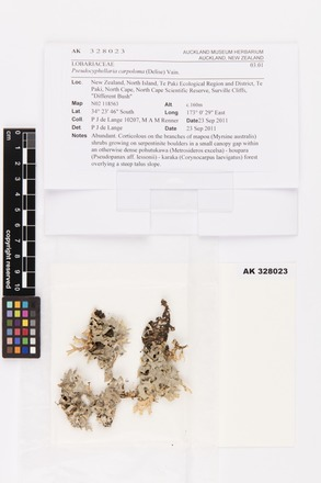 Pseudocyphellaria carpoloma, AK328023, © Auckland Museum CC BY