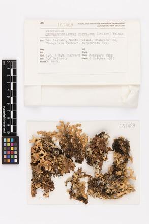 Pseudocyphellaria carpoloma, AK161489, © Auckland Museum CC BY