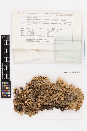 Pseudocyphellaria carpoloma, AK190112, © Auckland Museum CC BY