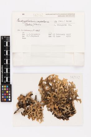 Pseudocyphellaria carpoloma, AK162162, © Auckland Museum CC BY