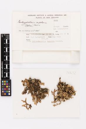 Pseudocyphellaria carpoloma, AK164252, © Auckland Museum CC BY