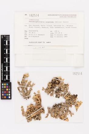 Pseudocyphellaria carpoloma, AK182514, © Auckland Museum CC BY
