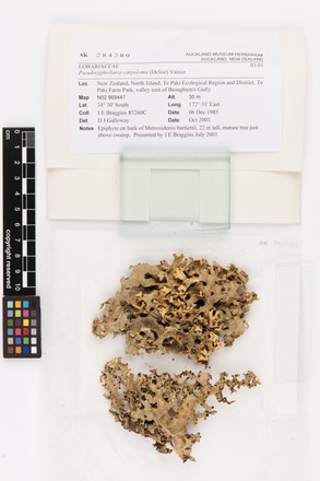 Pseudocyphellaria carpoloma, AK284280, © Auckland Museum CC BY