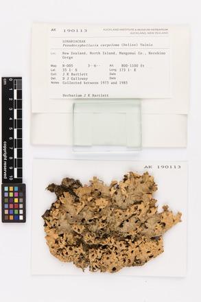 Pseudocyphellaria carpoloma, AK190113, © Auckland Museum CC BY