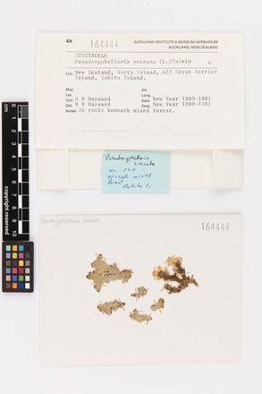 Pseudocyphellaria crocata, AK164444, © Auckland Museum CC BY