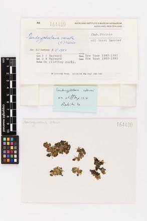 Pseudocyphellaria crocata, AK164480, © Auckland Museum CC BY