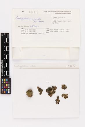 Pseudocyphellaria crocata, AK164472, © Auckland Museum CC BY