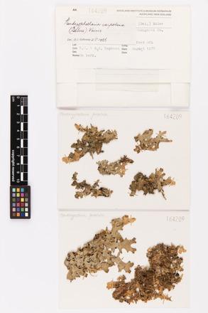 Pseudocyphellaria carpoloma, AK164209, © Auckland Museum CC BY