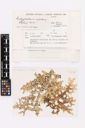Pseudocyphellaria carpoloma, AK155200, © Auckland Museum CC BY