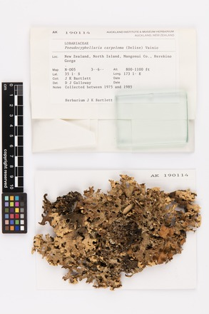 Pseudocyphellaria carpoloma, AK190114, © Auckland Museum CC BY