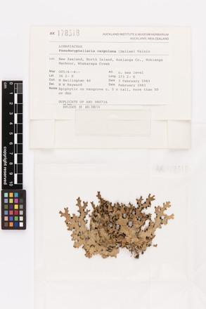 Pseudocyphellaria carpoloma, AK178318, © Auckland Museum CC BY