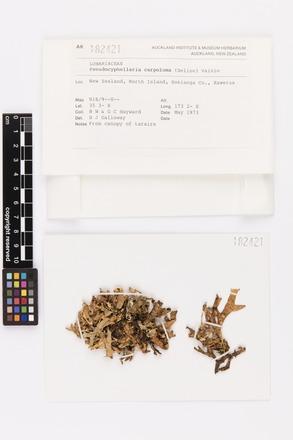 Pseudocyphellaria carpoloma, AK182421, © Auckland Museum CC BY