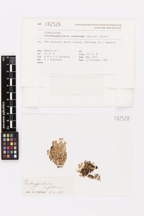 Pseudocyphellaria carpoloma, AK182528, © Auckland Museum CC BY