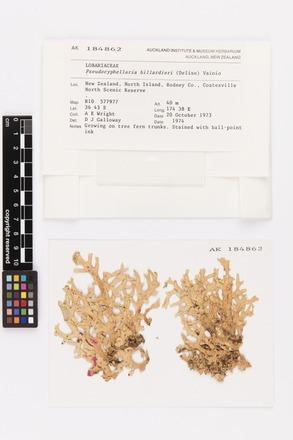 Pseudocyphellaria billardierei, AK184862, © Auckland Museum CC BY
