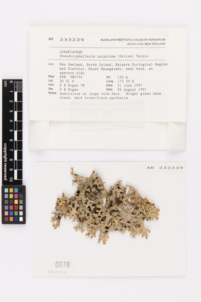 Pseudocyphellaria carpoloma, AK233239, © Auckland Museum CC BY