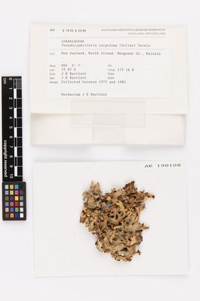 Pseudocyphellaria carpoloma, AK190108, © Auckland Museum CC BY