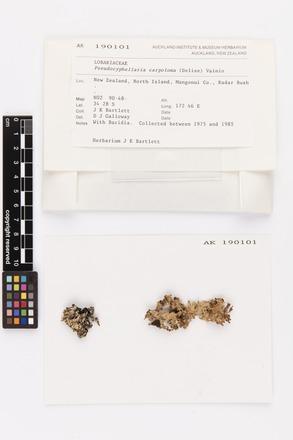 Pseudocyphellaria carpoloma, AK190101, © Auckland Museum CC BY