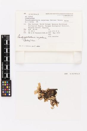 Pseudocyphellaria carpoloma, AK132942, © Auckland Museum CC BY