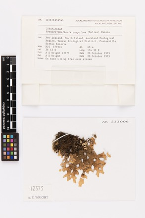Pseudocyphellaria carpoloma, AK233006, © Auckland Museum CC BY