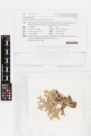 Pseudocyphellaria carpoloma, AK349237, © Auckland Museum CC BY