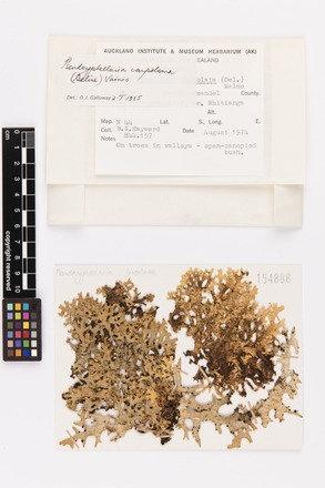 Pseudocyphellaria carpoloma, AK154888, © Auckland Museum CC BY
