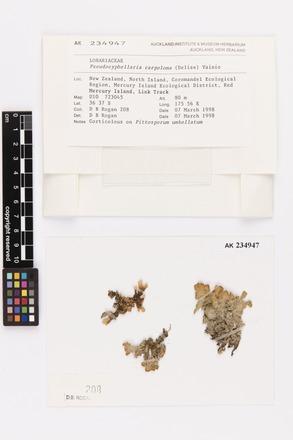 Pseudocyphellaria carpoloma, AK234947, © Auckland Museum CC BY