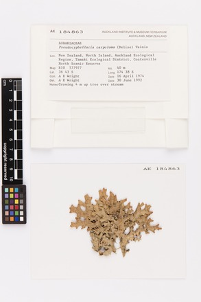 Pseudocyphellaria carpoloma, AK184863, © Auckland Museum CC BY