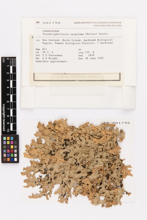 Pseudocyphellaria carpoloma, AK201796, © Auckland Museum CC BY