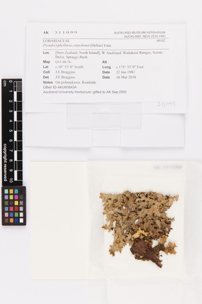 Pseudocyphellaria carpoloma, AK311099, © Auckland Museum CC BY