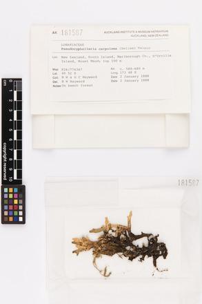 Pseudocyphellaria carpoloma, AK181587, © Auckland Museum CC BY