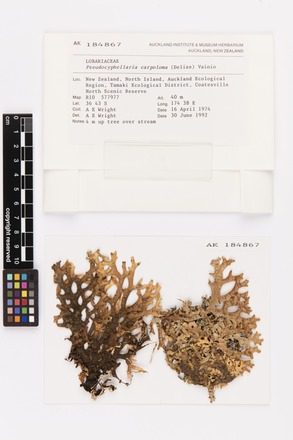 Pseudocyphellaria carpoloma, AK184867, © Auckland Museum CC BY