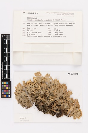 Pseudocyphellaria carpoloma, AK238291, © Auckland Museum CC BY