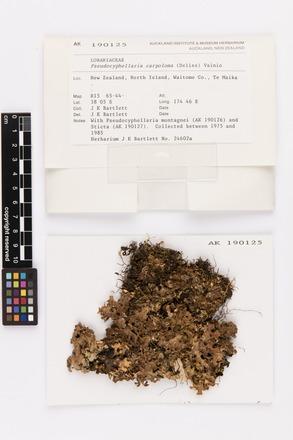Pseudocyphellaria carpoloma, AK190125, © Auckland Museum CC BY