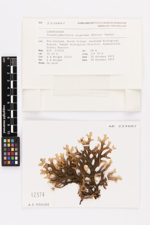 Pseudocyphellaria carpoloma, AK233007, © Auckland Museum CC BY