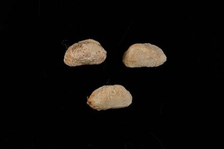 Acar plicata, MA98274, © Auckland Museum CC BY