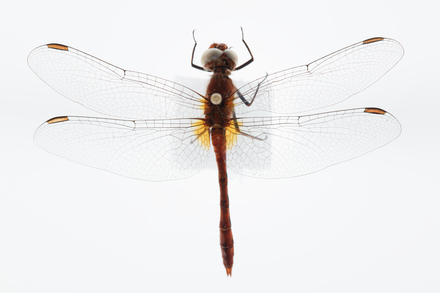 Diplacodes bipunctata, AMNZ25332, © Auckland Museum CC BY