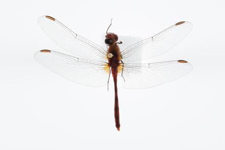 Diplacodes bipunctata, AMNZ88044, © Auckland Museum CC BY