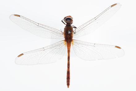 Diplacodes bipunctata, AMNZ136427, © Auckland Museum CC BY