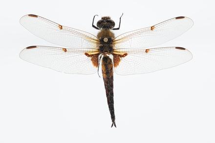 Libellula quadramaculata, AMNZ136480, © Auckland Museum CC BY