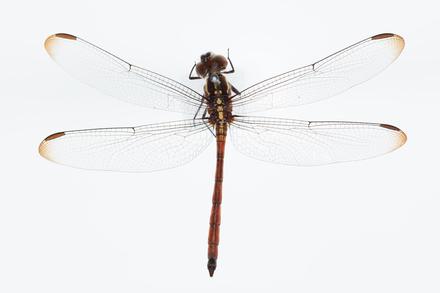 Lathrecista asiatica asiatica, AMNZ136485, © Auckland Museum CC BY